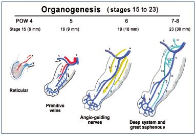 """Figure 7. Summary of the organogenesis period of an embryo's development (postovulatory weeks (POW) 4 to 8; Carnegie stages 15 to 23). At week 4 (Carnegie stage 15), the reticular phase starts where the central artery (a) and superficial venous plexus (v) develop. At week 5 (Carnegie stage 16), the primitive veins (marginal [1,2]; fibular [3]; and axial [4]), umbilical vein (5), posterior cardinal vein (6), anterior tibial vein (7), and small saphenous vein (SSV [8]) appear. At week 6 (Carnegie stage 19), the three angio-guiding nerves (axial [sciatic; a]; cranial [femoral; b]; and caudal <div class=""""phlebo-small""""></div>) appear. At week 7 to 8 (Carnegie stage 23), the following appear: marginal vein (1); fibular vein (3); axial vein (4); umbilical vein (5); anterior tibial vein (7); small saphenous vein (8); posterior tibial vein (9); femoropopliteal axis (10); deep femoral vein (11); epigastric vein (12); cranial extension of the SSV (13); great saphenous vein (14); arch of the SSV (A). Note the direction of blood circulation coming from the umbilical vein: from the root to the extremities of the veins (black arrows), and then circulated back by the arteries (red arrows)."""