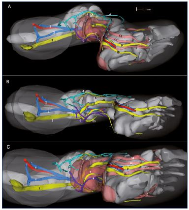 Figure 10. Three-dimensional reconstruction of a 14-week-old fetus (right lower limb). Medial view (Panel A), inferior view without muscles (Panel B), and inferior view with muscles (Panel C). Abbreviations Panel A: 1, sciatic nerve; 2, axial vein; 3, femoral vein and artery; 4, great saphenous vein; 5, fibular nerve; 6, small saphenous vein; 7, sural nerve; 8, tibial nerve; 9, medial plantar nerve; 10, lateral plantar nerve. Abbreviations Panels B and C: 1, posterior tibial artery and two veins; 2, vastus medialis muscle; 3, semimembranous muscle; 4, rectus femoris muscle; 5, lateral gastrocnemius muscle; 6, soleus muscle; 7, long fibular muscle; 8, tibialis anterior muscle; 9, extensor halluces longus. Figure 10B has been reproduced from reference 6: Kurobe et al. Surg Radiol Anat. 2015;37:231-238. © 2014, Springer Verlag France.