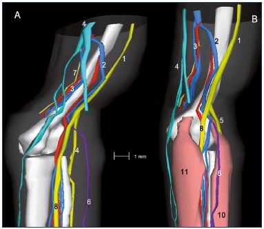 Figure 11: Three-dimensional reconstruction of a 15-week-old fetal right lower limb without (Panel A) and with muscles (Panel B). Abbreviations: 1, sciatic nerve; 2, axial vein; 3, femoral vein and artery; 4, great saphenous vein; 5, saphenous nerve; 6, small saphenous vein; 7, sural nerve; 8, tibial nerve; 8b, fibular nerve; 9, medial plantar nerve; 10, lateral plantar nerve; 11, posterior tibial artery and two veins; 12, tendon of the hallux flexor longus; 13, flexor digitorum longus; 14, posterior tibial tendon; 15, tendons of peronaeus longus and brevis. Reproduced from reference 6: Kurobe et al. Surg Radiol Anat. 2015;37:231-238. ©2015, Springer Verlag France.